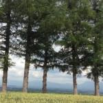 今では貴重な5本木の姿